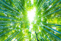 Arashiyama bamboo trees radial looking directly up low angle view of tall green at grove forest in kyoto japan Stock Photography