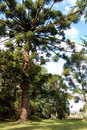 Araucaria Royalty Free Stock Images