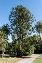 Araucaria araucana tree parks nerves