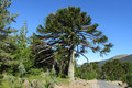 Araucaria tree near the road