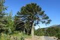 Araucaria tree near the road Royalty Free Stock Photo