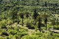 Araucaria Trees