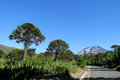 Araucaria trees near the road Royalty Free Stock Photo