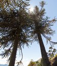 Araucarias tree in Malalcahuello Park, Chile Royalty Free Stock Photo