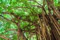 Arbor Of Old Banyan Tree