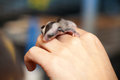 Arboreal gliding possum on the hand sugar glider cub petaurus breviceps omnivorous Royalty Free Stock Photo
