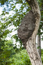 Arboreal termite nest on a tree in a tropical rain forest Stock Images