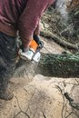 Arborist chainsawing pieces of wood of cut down old oak. Royalty Free Stock Photo