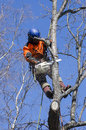 Arborist cutting tree an a with a chainsaw Stock Photography