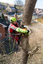Arborist man cutting a branches with chainsaw and throw on a ground. The worker with helmet working at height on the trees. Lumber Royalty Free Stock Photo