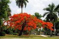 Arbre royal de Poinciana Photo libre de droits