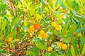 Arbutus red yellow fruits and green leafs Stock Image