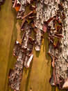 Arbutus tree bark Royalty Free Stock Photography