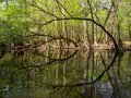 Arched Trees Along Waters Edge, Cedar Creek, Congaree National Park Royalty Free Stock Photo