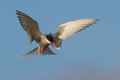 Arcit tern attack an arctic defending its nest Royalty Free Stock Image