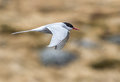 Arcit tern in the rain an arctic looking for food heavy Stock Photos