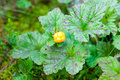 Arctic cloudberry the rubus chamaemorus with a ripe fruit and leaves in a swamp Royalty Free Stock Images