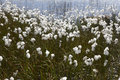 Arctic cotton-grass in Iceland. Royalty Free Stock Photo