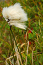 Arctic cotton tuft Royalty Free Stock Photo