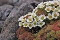Arctic flowers - Saxifraga cespitosa Royalty Free Stock Photo