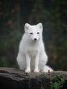 Arctic fox Royalty Free Stock Photo