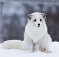 Arctic fox in polar park in troms norway Stock Images