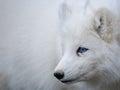Arctic fox portrait Royalty Free Stock Photo