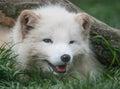 Arctic fox portrait young closeup Stock Photo