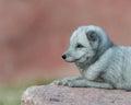 Arctic fox profile portrait baby vulpes lagopus Royalty Free Stock Photos