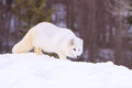 Arctic fox prowling Royalty Free Stock Photo