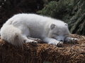 Arctic fox resting on hay bale at edmonton valley zoo Stock Photo