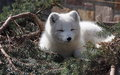 Arctic fox resting on spruce boughs at edmonton valley zoo Royalty Free Stock Photography