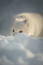 Arctic Fox in Snow Royalty Free Stock Photo