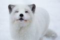Arctic fox in the snow in Norway Royalty Free Stock Photo