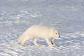 Arctic fox in the snow Royalty Free Stock Photo