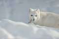Arctic Fox in Snow Royalty Free Stock Photo