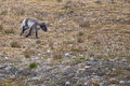 Arctic fox in svalbard spitzbergen island Stock Photo