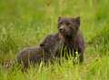 Arctic fox vulpes lagopus with a cub in the meadow iceland Royalty Free Stock Photo