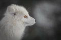 An Arctic Fox in Winter Royalty Free Stock Photo