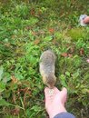 Arctic ground squirrel Urocitellus parryii eats peeled sunflower seeds from the hand of man Royalty Free Stock Photo