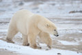 Arctic, Polar Bear Royalty Free Stock Images