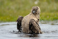 Arctic skua bathing in small pond Stock Images