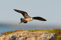 Arctic skua flying with blue sky background Royalty Free Stock Photography