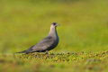 Arctic skua in the tundra Stock Photography