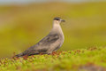Arctic skua in the tundra Stock Images