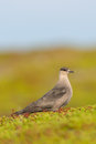 Arctic skua in the tundra Royalty Free Stock Images