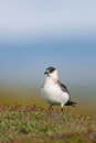 Arctic skua in the tundra Royalty Free Stock Photos