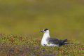 Arctic skua in the tundra Stock Photo