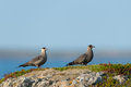 Arctic skua two in the tundra Stock Images