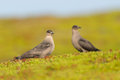 Arctic skua two in the tundra Royalty Free Stock Photos
